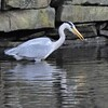 Grey Heron, Ardea cinerea 4191