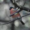 Bullfinch, Pyrrhula pyrrhula 4079