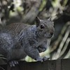 Grey Squirrel, Sciurus carolinensis 4075