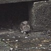 House Mouse, Mus domesticus 4009