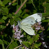 Green-veined White, Pieris napi