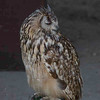 Long-eared Owl, Asio otus 8176