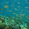 Orange Anthias, Pseudanthias squamipinnis & Coral Reef 6442