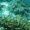 Yellowtail Anthias, pseudanthias evansi & Blue-green Chromis, Chromis viridis 6473