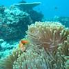 Maldive Anemonefish, Amphiprion nigripes 6461