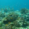 Orange Anthias, Pseudanthias squamipinnis & Coral Reef 6436