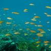 Orange Anthias, Pseudanthias squamipinnis & Coral Reef 6449