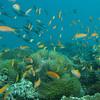 Orange Anthias, Pseudanthias squamipinnis & Coral Reef 6450