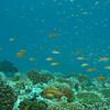 Orange Anthias, Pseudanthias squamipinnis & Coral Reef 6447