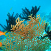 Orange Anthias, Pseudanthias squamipinnis & Featherstar & Sea fan 6423