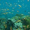 Orange Anthias, Pseudanthias squamipinnis & Coral Reef 6437