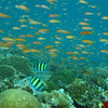 Sergeant Major, Abudefduf vaigiensis & Orange Anthias, Pseudanthias squamipinnis & Coral Reef 6445