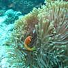 Maldive Anemonefish, Amphiprion nigripes 6459