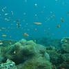 Orange Anthias, Pseudanthias squamipinnis & Coral Reef 6438
