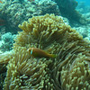 Maldive Anemonefish, Amphiprion nigripes 6455