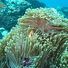 Maldive Anemonefish, Amphiprion nigripes 6460