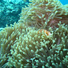 Maldive Anemonefish, Amphiprion nigripes 6456