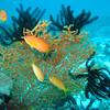 Orange Anthias, Pseudanthias squamipinnis & Featherstar & Sea fan 6422