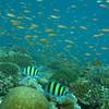 Sergeant Major, Abudefduf vaigiensis & Orange Anthias, Pseudanthias squamipinnis & Coral Reef 6444