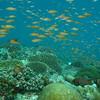 Orange Anthias, Pseudanthias squamipinnis & Coral Reef 6443