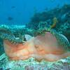 Maldive Anemonefish, Amphiprion nigripes & Magnificent Sea Anemone, Heteractis magnifica 6552
