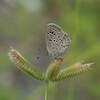Lesser Grass Blue, Zizina otis P1180766