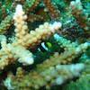 Clark's Anemonefish , Amphiprion clarkii 6660