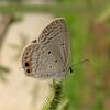Small Cupid, Chilades parrhasius 3103 from Nov, 2010