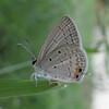Small Cupid, Chilades parrhasius 5732 from Nov, 2010