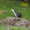White-breasted Waterhen, Amaurornis phoenicurus P1180641