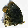 Danaid Eggfly, Mimic, or Diadem, Hypolimnas misippus, Maldives 6831
