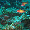 Orange Anthias, Pseudanthias squamipinnis 6594