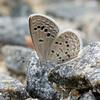 Lesser Grass Blue, Zizina otis P1180822
