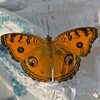 Peacock Pansy, Precis almana, Maldives P1180696