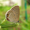 Small Cupid, Chilades parrhasius 3115 from Nov, 2010