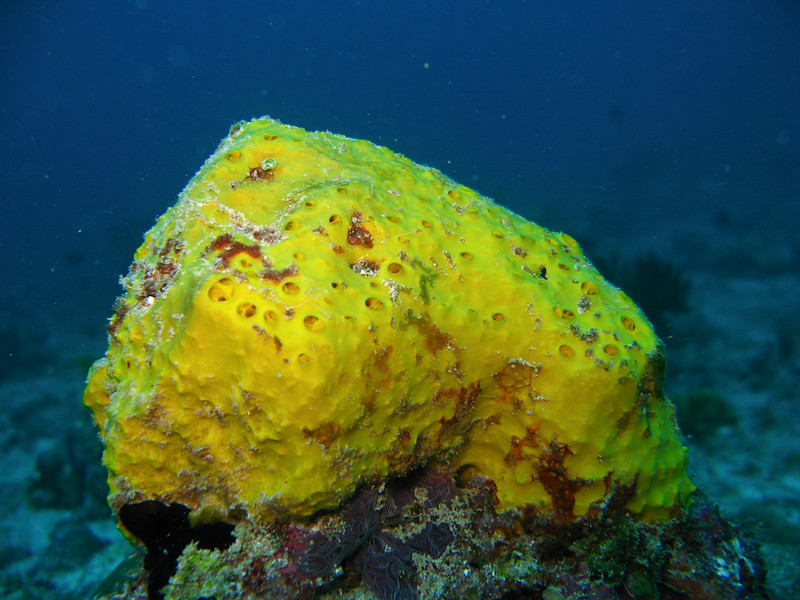 Yellow-dimpled Sponge, Hippospongia metachromia 5882