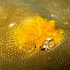 Christmas Tree Worm, Spirobranchus giganteus 5884