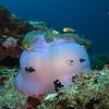 Maldive Anemonefish, Amphiprion nigripes & Magnificent Sea Anemone, Heteractis magnifica 5523