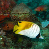 Threadfin Butterflyfish, Chaetodon auriga 5505