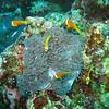Maldive Anemonefish, Amphiprion nigripes & Magnificent Sea Anemone, Heteractis magnifica 5617
