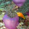 Maldive Anemonefish, Amphiprion nigripes & Magnificent Sea Anemone, Heteractis magnifica  6200 (4)