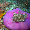 Maldive Anemonefish, Amphiprion nigripes & Magnificent Sea Anemone, Heteractis magnifica  6200 (9)