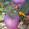 Maldive Anemonefish, Amphiprion nigripes & Magnificent Sea Anemone, Heteractis magnifica  6200 (5)