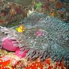 Maldive Anemonefish, Amphiprion nigripes & Magnificent Sea Anemone, Heteractis magnifica 6233