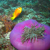 Maldive Anemonefish, Amphiprion nigripes & Magnificent Sea Anemone, Heteractis magnifica  6200 (7)
