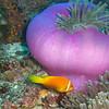 Maldive Anemonefish, Amphiprion nigripes & Magnificent Sea Anemone, Heteractis magnifica  6200 (1)
