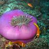 Maldive Anemonefish, Amphiprion nigripes & Magnificent Sea Anemone, Heteractis magnifica  6200 (3)