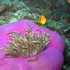 Maldive Anemonefish, Amphiprion nigripes & Magnificent Sea Anemone, Heteractis magnifica  6200 (8)