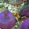 Maldive Anemonefish, Amphiprion nigripes & Magnificent Sea Anemone, Heteractis magnifica  6200 (11)