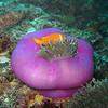 Maldive Anemonefish, Amphiprion nigripes & Magnificent Sea Anemone, Heteractis magnifica  6200 (6)